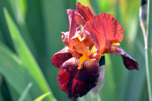 iris color ruggine