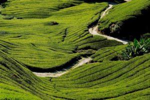 Viaggio di nozze in Malesia - Tee Plantagen